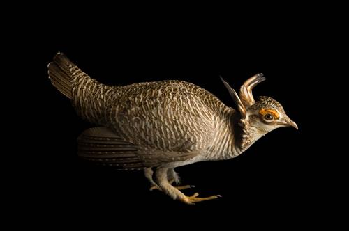 A studio portrait of a male lesser prairie-chicken (Tympanuchus pallidicinctus). (Joel Sartore/www.joelsartore.com)