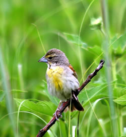 A female dickcissel. (Paul A. Johnsgard)
