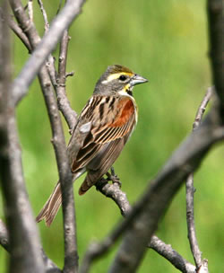 A male dickcissel. (Paul A. Johnsgard)