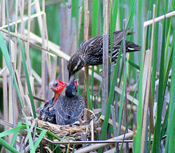 A female red-winged blackbird feeding a baby brown-headed cowbird (right) rather than her own starving chick (left). (Paul A. Johnsgard)