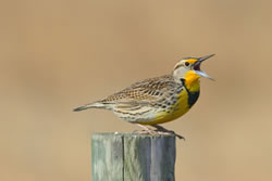 A western meadowlark male. (Paul A. Johnsgard)