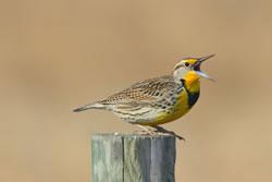 A western meadowlark male. (Paul A. Johnsgard)