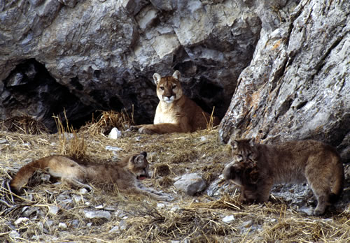 Two mountain lion cubs play with an elk hide while their mother watches. (Thomas D. Mangelsen)