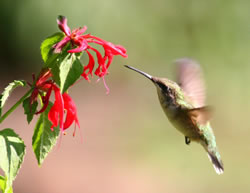 Ruby-throated female and monarda. (Paul A. Johnsgard)