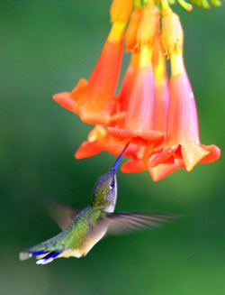 Ruby-throated female and trumpet vine. (Paul A. Johnsgard)
