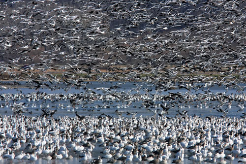 Snow geese landing at Squaw Creek National Wildlife Refuge. (Paul A. Johnsgard)