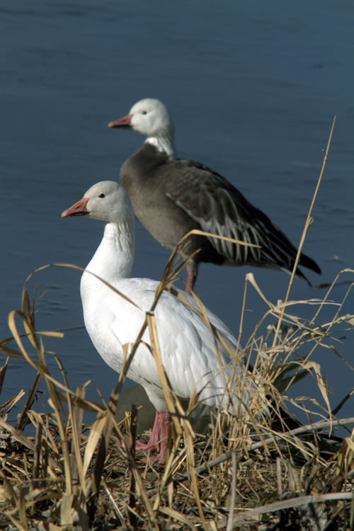 Snow geese with white and blue plumages at Squaw Creek. (Paul A. Johnsgard)