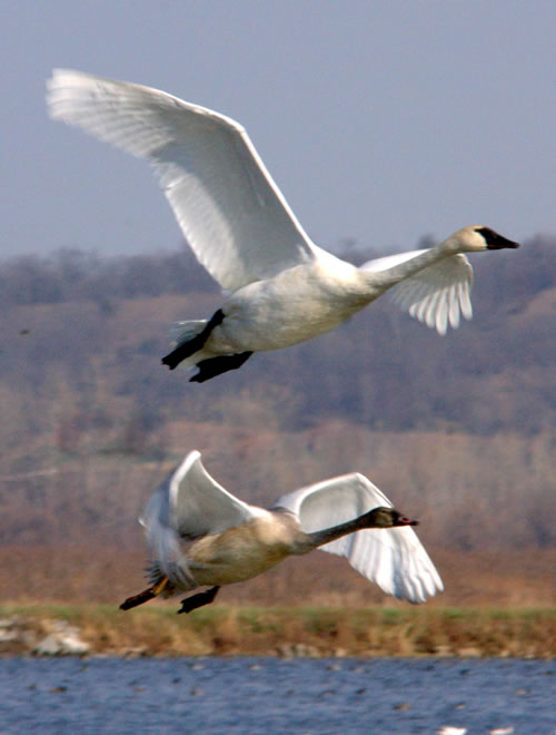 Trumpeter swans at Squaw Creek. (Paul A. Johnsgard)