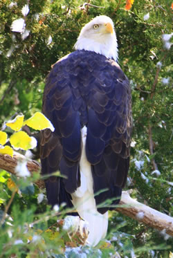 Bald eagle. (Paul A. Johnsgard)