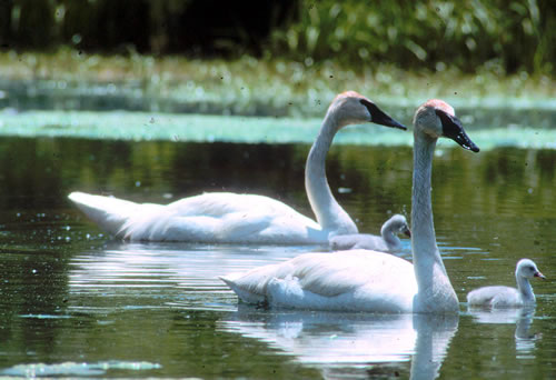 Trumpeter swans with young. (Paul A. Johnsgard)