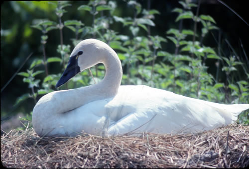 An incubating tundra swan. (Paul A. Johnsgard)