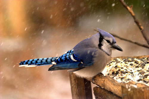 Blue jay at a feeder. (Paul A. Johnsgard)