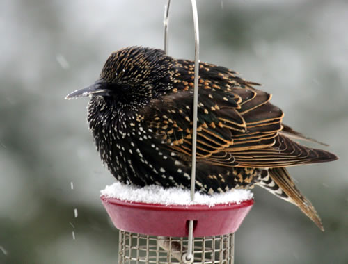 A European starling on a feeder. (Paul A. Johnsgard)