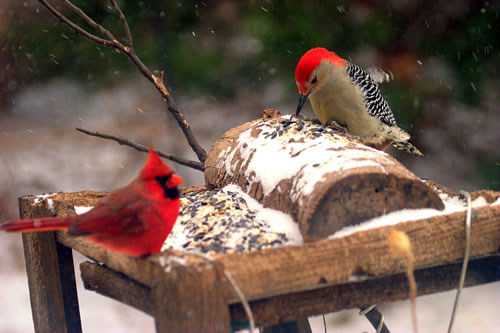 A northern cardinal and red-bellied woodpecker, both males, share a feeding station. (Paul A. Johnsgard)