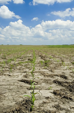 A low-till cornfield in Nebraska. (PrairieArtProject/ iStockPhoto)