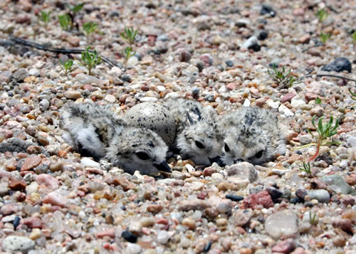 Freshly hatched plover chicks and one egg using cryptic coloration to blend into pebble-lined nest (Mary Bomberger Brown)
