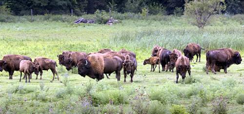 Once nearing extinction, bison can be seen in increasing numbers in northeast Nebraska. (R. Neibel, Nebraska Department of Economic Development)