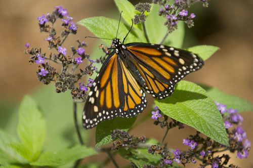 Butterflies are attracted to native plants and add to the enjoyment of home gardens. (Nebraska Tourism)