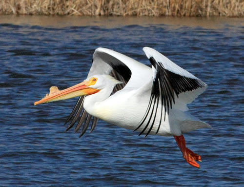 A white pelican in mid-flap. (Paul A. Johnsgard)