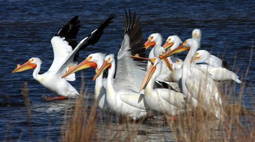 White pelicans. (Paul A. Johnsgard)