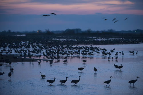 Sandhill cranes (Grus canadensis) at Rowe Audubon Sanctuary on the Platte River. (Joel Sartore/ www.joelsartore.com)