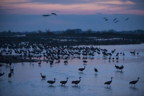 Sandhill cranes (Grus canadensis) at Rowe Audubon Sanctuary on the Platte River. (Joel Sartore/ www.joelsartore.com)