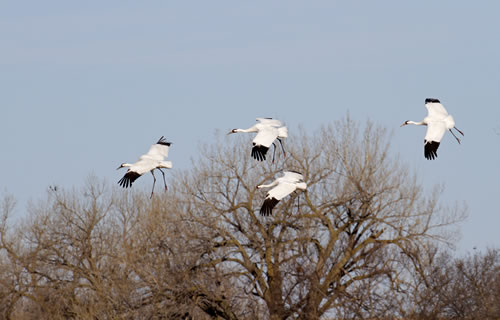 Whooping cranes migrate primarily during daylight hours, frequently using the Platte River in south-central Nebraska for stopovers of two to three days. (Rick Rasmussen, Platte River Photography)