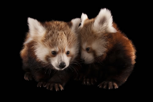 Twin three-month-old red pandas (Ailurus fulgens) at the Lincoln Children's Zoo in Lincoln, Neb. (Joel Sartore/www.joelsartore.com)