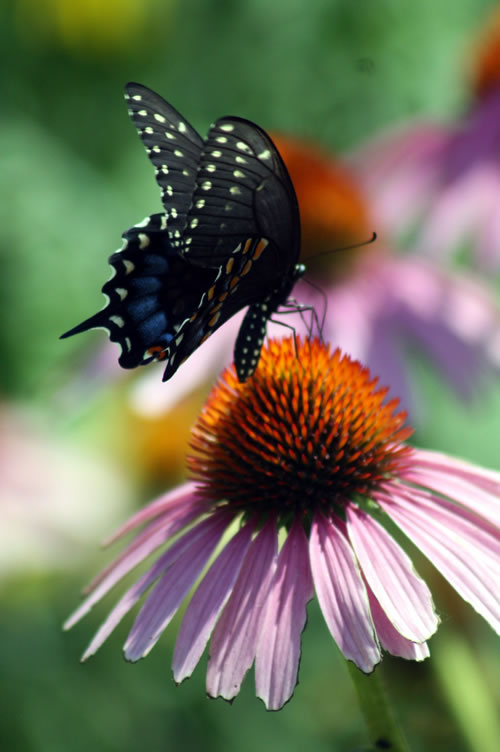 Black swallowtail on coneflower. (Benjamin Vogt)