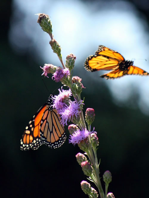 Monarch butterflies on liatris. (Benjamin Vogt)