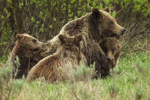 Female grizzly bear and cubs, Grand Teton National Park, Wyo. (Thomas D. Mangelsen)