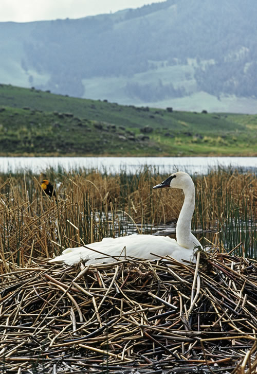 Incubating trumpeter swan with yellow-headed blackbird in background, Yellowstone National Park, Wyo. (Thomas D. Mangelsen)