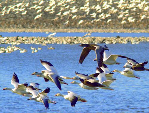 Snow geese. (Paul A. Johnsgard)