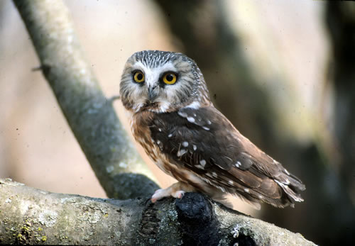 A saw-whet owl, unfortunately not on a conifer. (Paul A. Johnsgard)