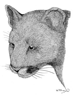 Mountain Lion drawing by Paul Johnsgard