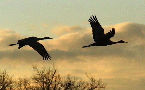 Sandhill cranes near the Platte River. (Paul A. Johnsgard)