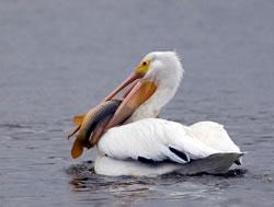A pelican at Harlan County Lake. (Chris Mayne)