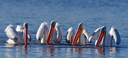 Pelicans at Harlan County Lake. (Chris Mayne)