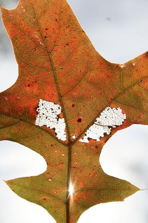Oak leaf. (Ben Vogt)