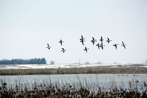 Northern pintails fly across the recently restored wetland at Hansen Waterfowl Production Area in March 2013. (Doreen Pfost)