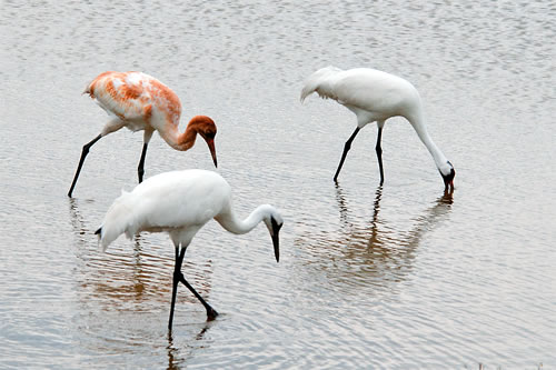 A family of whooping cranes forages for blue crabs in a coastal pond at Aransas NWR in January 2014. (Liz Smith)