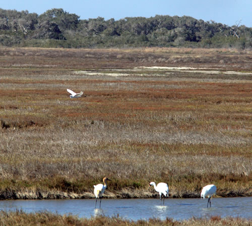 Whooping cranes at Aransas National Wildlife Refuge. (Paul A. Johnsgard)