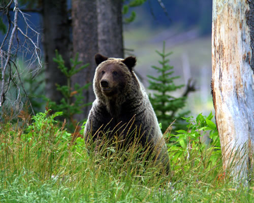 A three-year-old grizzly stands up to survey the countryside. (Paul A. Johnsgard)