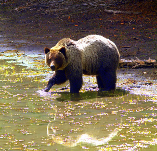 A three-year-old grizzly, sibling to the bear on page one, looks for food in a stream. (Paul A. Johnsgard)