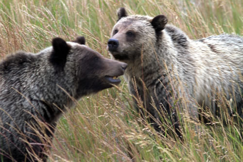 Two of the three-year-old grizzlies. (Paul A. Johnsgard)
