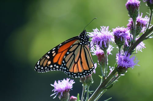 Monarch on meadow blazingstar. (Benjamin Vogt)