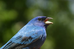 Indigo bunting (eastern) (Paul A. Johnsgard)