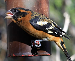 Black-headed grosbeak (western) (Paul A. Johnsgard)
