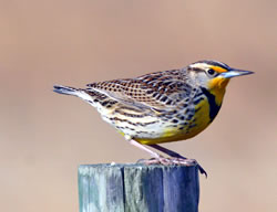 Western meadowlark (Paul A. Johnsgard)